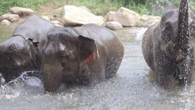 Elephants bathing in creek ,Chiang mai Thailand