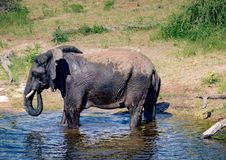 Elephants bathing and playing in the water of the chobe river in Botswana stock photo