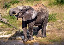 Elephants bathing and playing in the water of the chobe river in Botswana royalty free stock photos