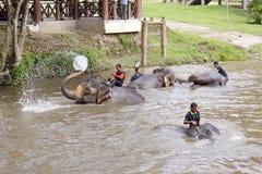 Elephants bathing in the river. KUALA GANDAH, MALAYSIA - SEPTEMBER 24: Staff of Kuala Gandah Elephant Conservation Centre bathing the elephants in the river on Royalty Free Stock Images