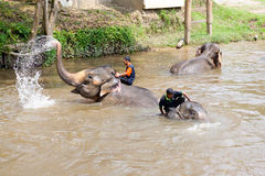 Elephants bathing in the river. KUALA GANDAH, MALAYSIA - SEPTEMBER 24: Staff of Kuala Gandah Elephant Conservation Centre taking the elephants for bath on SEP 24 royalty free stock photos