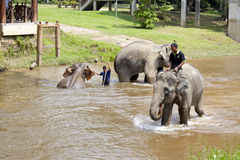 Elephants bathing in the river. KUALA GANDAH, MALAYSIA - SEPTEMBER 24: Staff of Kuala Gandah Elephant Conservation Centre taking the elephants for bath on SEP 24 stock photography