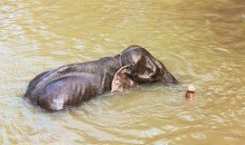 Elephants bathing Royalty Free Stock Image