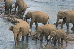 Elephants bathing in river. Elephants bathing and drinking at a watering hole near a river in Kandy, Sri Lanka.  Species:  Elephas maximus Royalty Free Stock Photo