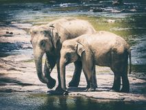 Elephants bathing in a river Royalty Free Stock Images