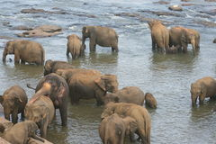 Elephants bathing in river Royalty Free Stock Photos