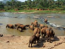 Elephants are bathing in river Royalty Free Stock Photo