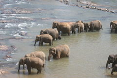 Elephants bathing in river Royalty Free Stock Photo