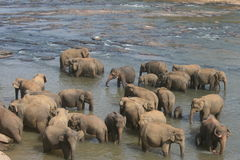 Elephants bathing in river Royalty Free Stock Image