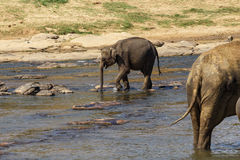 Elephants bathing in the river. Royalty Free Stock Photography