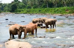 Elephants bathing in the river. National park. Pinnawala Elephant Orphanage. Sri Lanka,beautiful sky and elephants by the river wi Royalty Free Stock Images