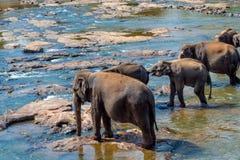 Elephants bathing in the river. Elephants pack bathing in the river. National park. Pinnawala Elephant Orphanage. Sri Lanka Royalty Free Stock Image