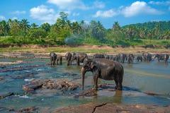 Elephants bathing in the river. Elephants pack bathing in the river. National park. Pinnawala Elephant Orphanage. Sri Lanka Royalty Free Stock Images