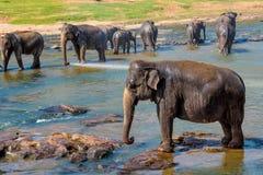 Elephants bathing in the river. Elephants pack bathing in the river. National park. Pinnawala Elephant Orphanage. Sri Lanka Stock Photo