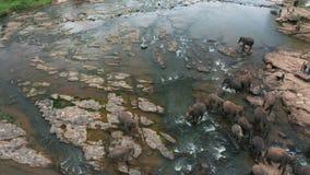Elephants bathing in the river. Pinnawala Elephant Orphanage. Sri Lanka. stock footage