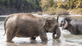 Elephants bathing in river. Elephants in the river playing with the water, getting ready to submerge themselves and wash off the mud Royalty Free Stock Image