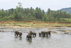Elephants bathing in the river Stock Photos