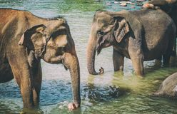 Elephants bathing in a river Royalty Free Stock Photos