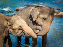 Elephants bathing in a river Stock Images