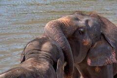 Elephants bathing in the river. Young elephants bathing in the river and playing each other. National park. Pinnawala Elephant Orphanage. Sri Lanka Royalty Free Stock Photo
