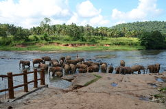Elephants bathing in Sri Lanka. 2014 Stock Photos