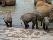 Elephants while bathing Royalty Free Stock Photo