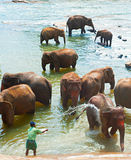 Elephants bathing, Sri Lanka Stock Image
