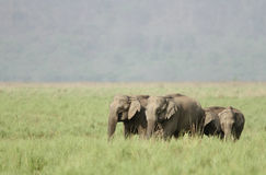 Elephants in the beautiful grassland of Dhikala Royalty Free Stock Photography