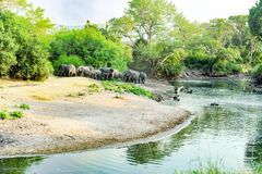 Elephants in beautiful landscape with river in Serengeti, Africa, hundrets of wildebeests together Royalty Free Stock Images