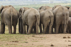 Elephants behind Royalty Free Stock Photography