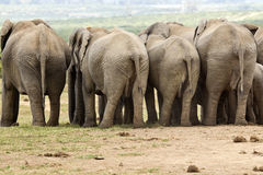Elephants from behind Stock Photo