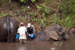 Elephants being washed in forest river by mahouts royalty free stock image