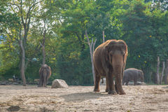 Elephants. In the Berlin zoo Royalty Free Stock Photo