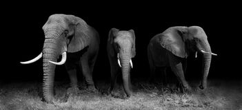 Elephants in black and white. Wild African elephants in black and white stock photo