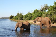 Elephants in Botswana. These are elephants in the chobe river in Botswana Royalty Free Stock Images