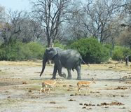 Elephants in Botswana Africa. Baby elephant heading to water hole. Springerbocs passing by Royalty Free Stock Image