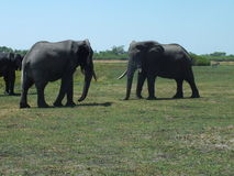 Elephants in Botswana Africa. Two male elephants standing-off Royalty Free Stock Photos