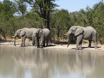 Elephants in Botswana Stock Photo