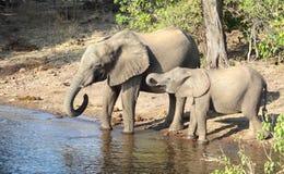 Elephants in Botswana Royalty Free Stock Photo