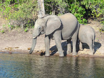 Elephants in Botswana Stock Images
