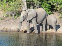 Elephants in Botswana Stock Images