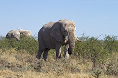 Elephants  browsing on young thorn trees Stock Images