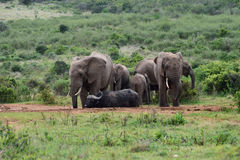 Elephants and Buffalo at a water hole Stock Photography