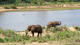 Elephants bulls at a river. In Kruger National Park in South Africa Stock Photos