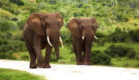Elephants in the bush. Two elephants walking on the road in a safari park in South Africa Stock Photography