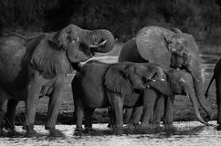 Elephants in BW Stock Photos
