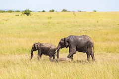 Elephants with calf on the savanna Stock Photography