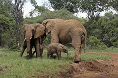 Elephants with calfs Stock Image