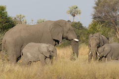 Elephants and calves Royalty Free Stock Image