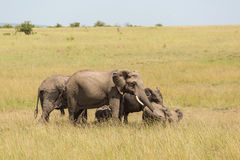 Elephants with calves on the African savannah Stock Photography